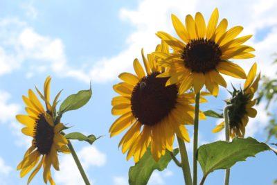 Sommarutmaning - Sunflower Challenge